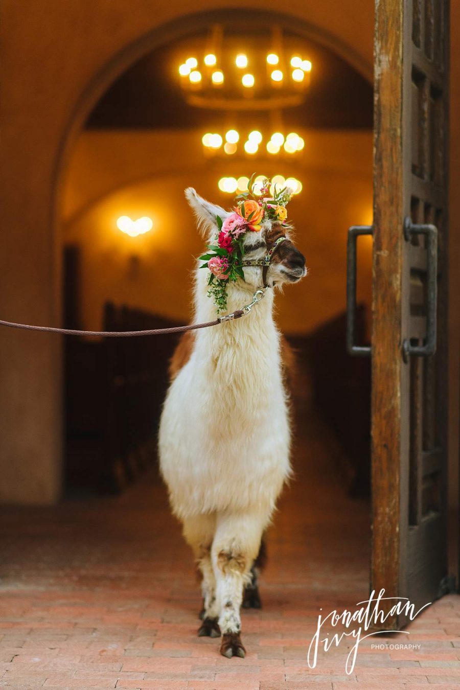 San Antonio Llama at Wedding